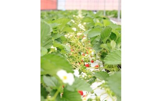 化学合成された農薬及び肥料の使用を半分以下に抑え、その分手間暇をかけて、大切に育てました。