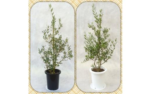 [№5672-0195]プロが選ぶ観葉植物~平和のシンボル オリーブ~ 8号鉢