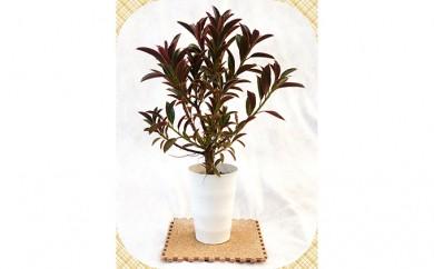 [№5672-0248]プロが選ぶ観葉植物~メラニードワーフ 6号鉢~