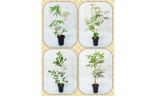 [№5672-0187]プロが選ぶ観葉植物~曲りシリーズ 8号鉢