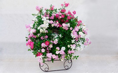 [№5809-3346]ウェルカムレンゲローズ 四季咲きミニバラ リング植え