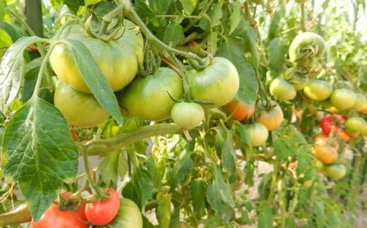 このトマトの上にかかる深緑はベースグリーンと言い、あまーいトマトの証拠なんです!