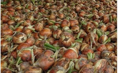 ◆高島市マキノ町産玉ねぎ10㎏(S~M規格)【農薬・化学肥料不使用栽培】