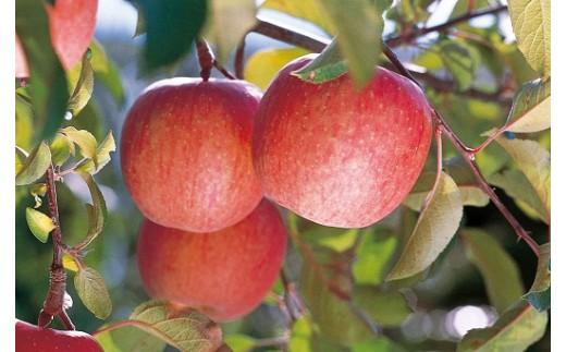 721 【先行予約】家庭用 りんご サンふじ 約10kg(46玉)