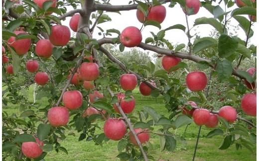 719 【先行予約】早生りんご(涼香の季節 約5kg+秋陽 約5kg)