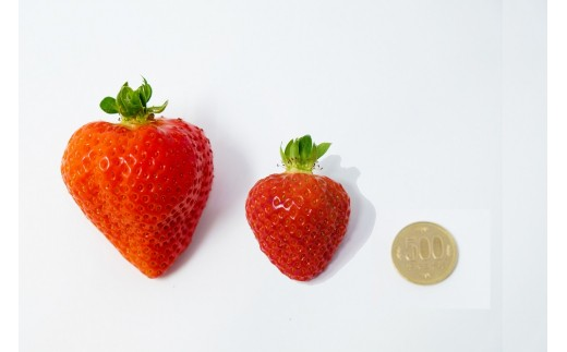 500円玉&通常サイズと比較。1~2%ほどしか採れない貴重ないちごです。