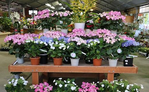 季節の花鉢(例:アジサイ) ※写真はイメージです