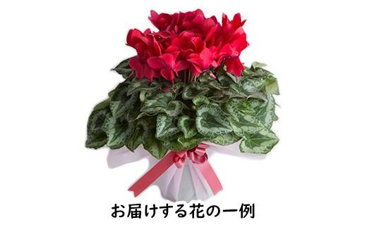 季節の花鉢(例:シクラメン) ※写真はイメージです