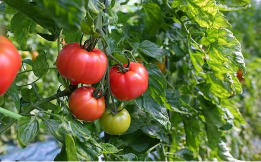 [№5722-0155]ミネラルトマト(大玉完熟トマト)4kg