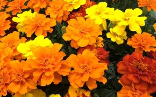 庭植えにも、寄せ植えにも最適な人気者です。