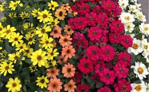 色鮮やかな花色が特徴。種類が豊富ですので、実際に届くものが違うことがあります。