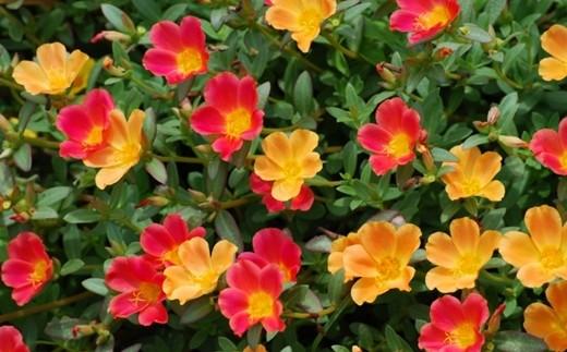 花壇、庭、鉢植え、寄せ植えに多用できます。