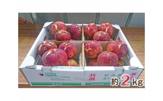 No.006 大きな実が自慢の「生いちじく」約2kg / 果物 フルーツ 無花果 イチジク 埼玉県