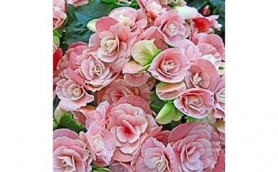 [№5809-3649]【クレカ限定】母の日に!ベゴニア鉢植え 5号ピンク系