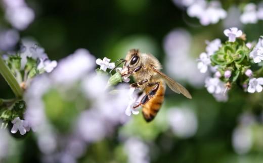 はちみつを吸うミツバチ