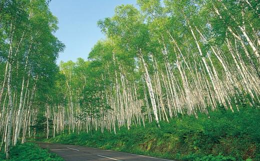 久慈市平庭高原の白樺林