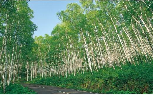 白樺林(平庭高原)