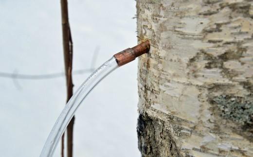 白樺樹液採取の様子