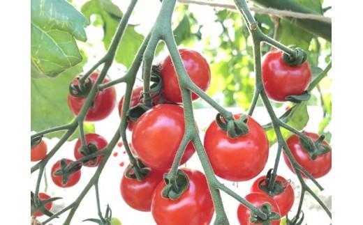 【北限のトマト】ドルチェ ポモドリーニ B(ミニトマト)