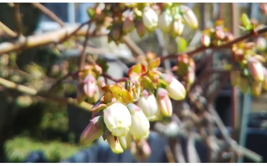 ブルーベリーの花です!