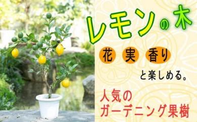 [№5656-0736]ガーデニング果樹・レモンの木 ★ガーデニングショップ四季の里