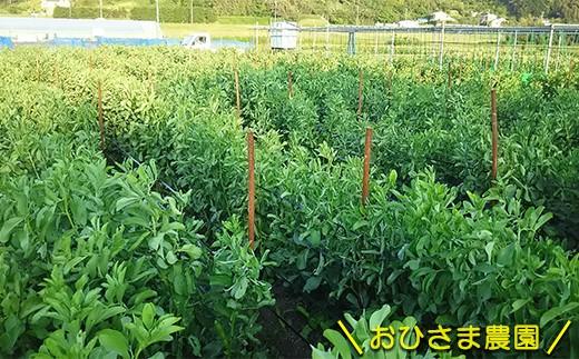 館山のおひさま農園が育てた「そら豆」です。