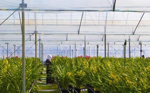 ギンギ、デンファレ、シンビジューム、グラマト。季節の洋ランを育てる草場農園