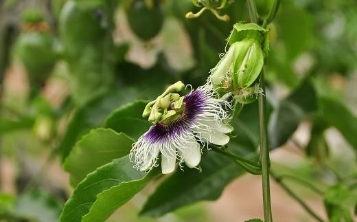 パッションフルーツの花。アメリカ原産の果実のなるトケイソウです
