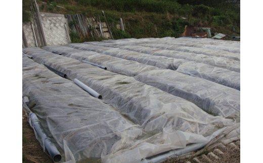 苗床土壌消毒 8月