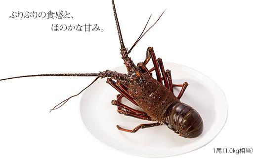 CAW001 崎戸春エビ・秋エビ(天然イセエビ) (カタログコード:B-1)-2