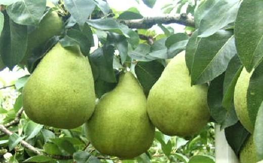0015-212 西洋梨3種食べ比べ【頒布会】(マリゲリット・マリーラ、バラード、ラ・フランス)