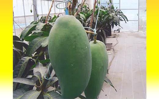 鉢植えにすることで水分調整を行い、糖度が高く濃厚なマンゴーを作っています。