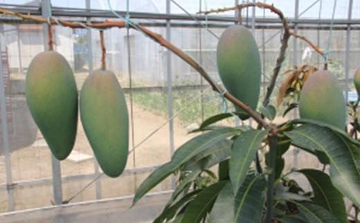 1本の樹から10~15個採れます。森宅農園では1年おきに樹を休ませており、2~3年に一度しか収穫できない貴重なマンゴーです。