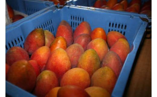 【限定20・家庭用】ミナミマンゴーハウスの完熟マンゴー約2kg
