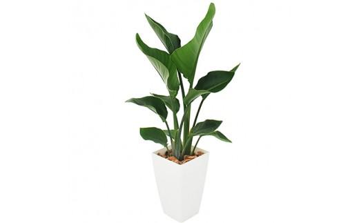 観葉植物(オーガスタ)【1001819】