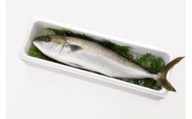 ☆海の直売所人気☆漁師が丁寧に育て神経締めでお届け黒潮ヒラマサ