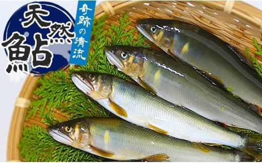 【先行予約】高知県仁淀川の天然鮎 約600g