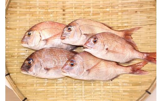 鯛を水揚げしたその日に発送。ウロコ・内臓は処理済みですので、塩焼きに最適です。