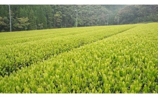 孔子園製茶さんご自慢の茶畑