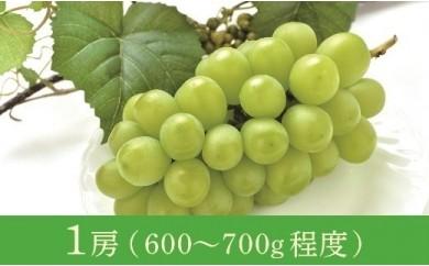 12月 津軽産 贈答用大粒シャインマスカット1房(600~700g程度)