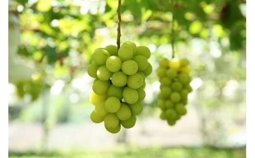 1-1-68 葡萄「シャインマスカット」1.2kg