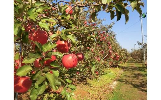 中川村産 農家厳選のりんご
