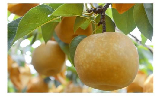 新興梨詰め合わせ<約5.5kg:小原梨園> 31-SKB01