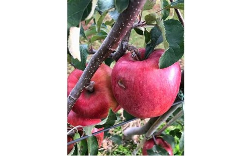 【010-17】【数量限定!】傷等訳あり・ご家庭用 甘い!希少!りんご あいかの香り 5キロセット(りんご・リンゴ・林檎)