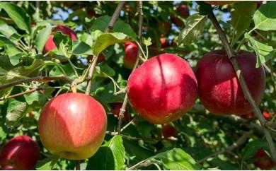 津軽産,業務用アップルパイに最適紅玉りんご(約10kgバラ詰)