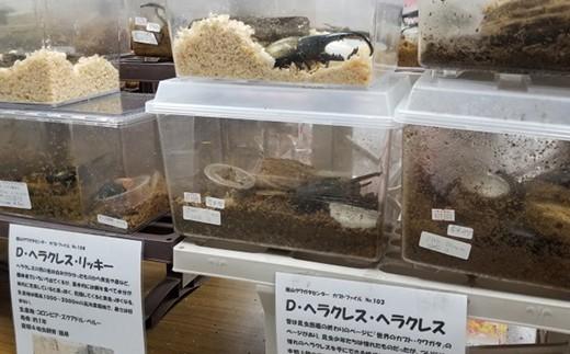 館山クワガタセンターではカブトムシやクワガタを飼育・取り扱っています。