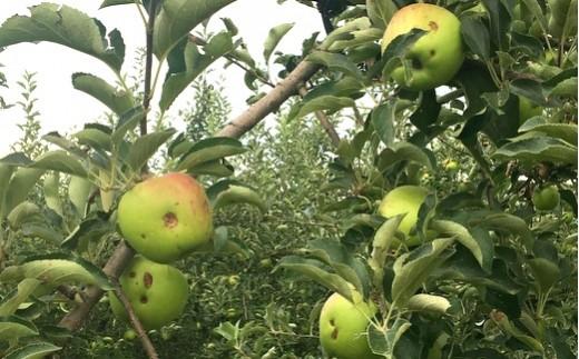 園地によっては無傷のリンゴがないほどの被害です【写真撮影:2019年7月24日】