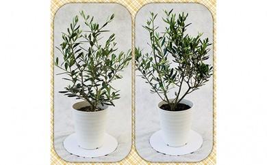 [№5672-0289]プロが選ぶ観葉植物~平和のシンボル オリーブ~ 5号鉢