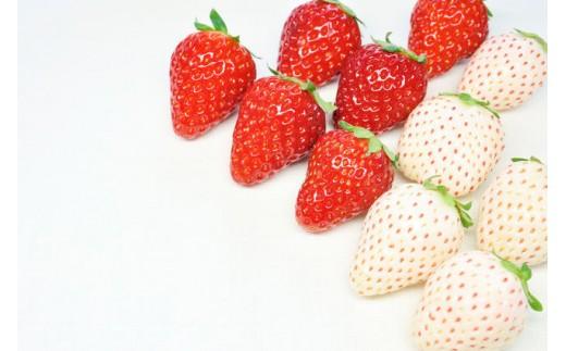 【K-11】白石産いちご「パールホワイト」&「さがほのか」赤白セット