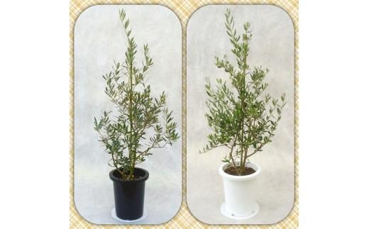 [№5672-0290]プロが選ぶ観葉植物~平和のシンボル オリーブ~ 8号鉢